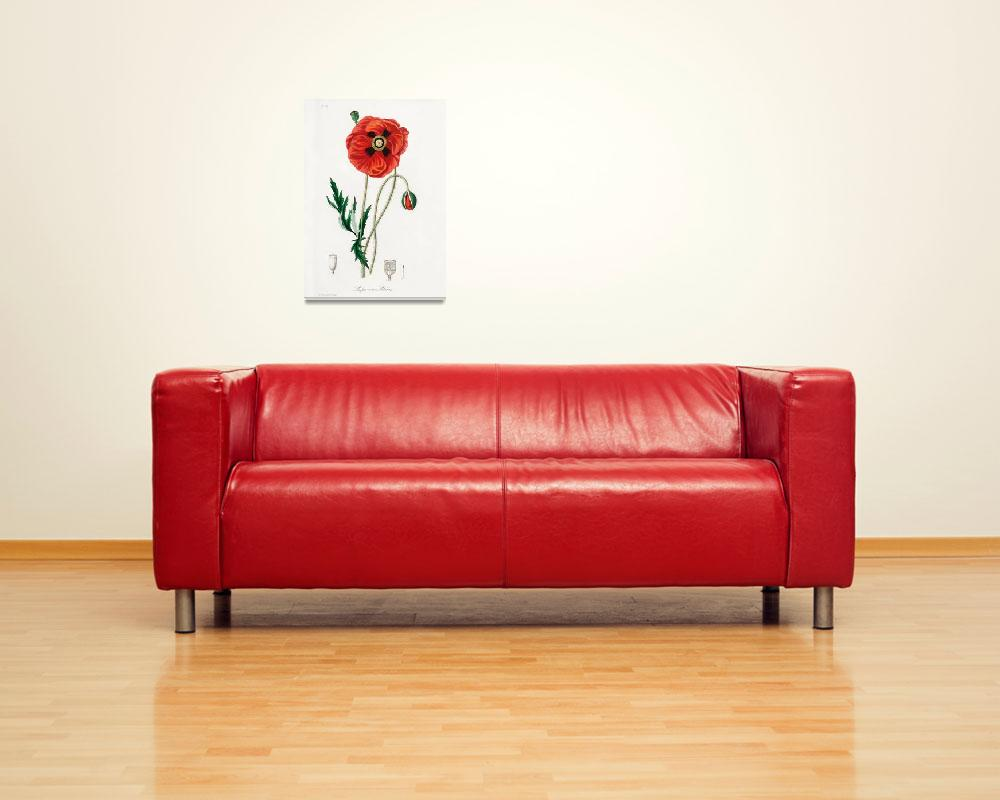 """""""Vintage Botanical Common poppy""""  by FineArtClassics"""