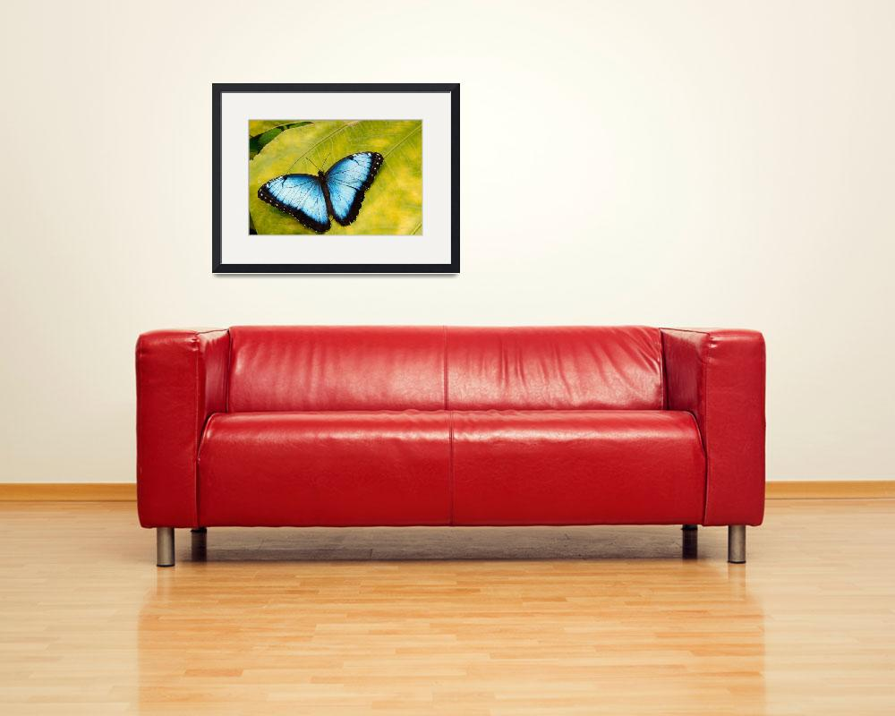 """""""Blue Morpho Butterfly (Morpho peleides)&quot  by OGphoto"""