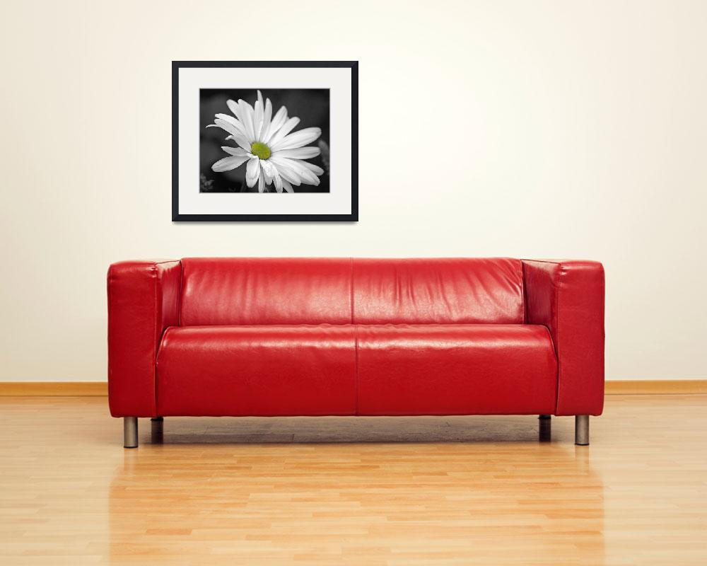 """""""Daisy In Black & White""""  (2012) by DBell"""