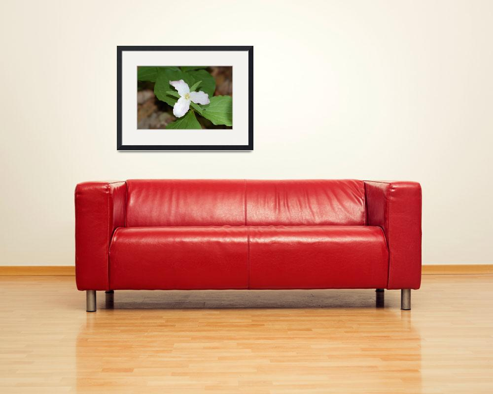 """""""Trillium&quot  (2008) by BuddhabellyDave"""