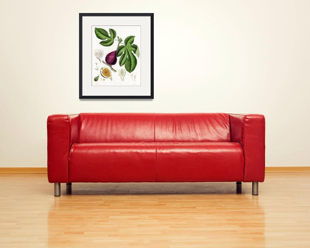 """Vintage Botanical Fig&quot  by FineArtClassics"