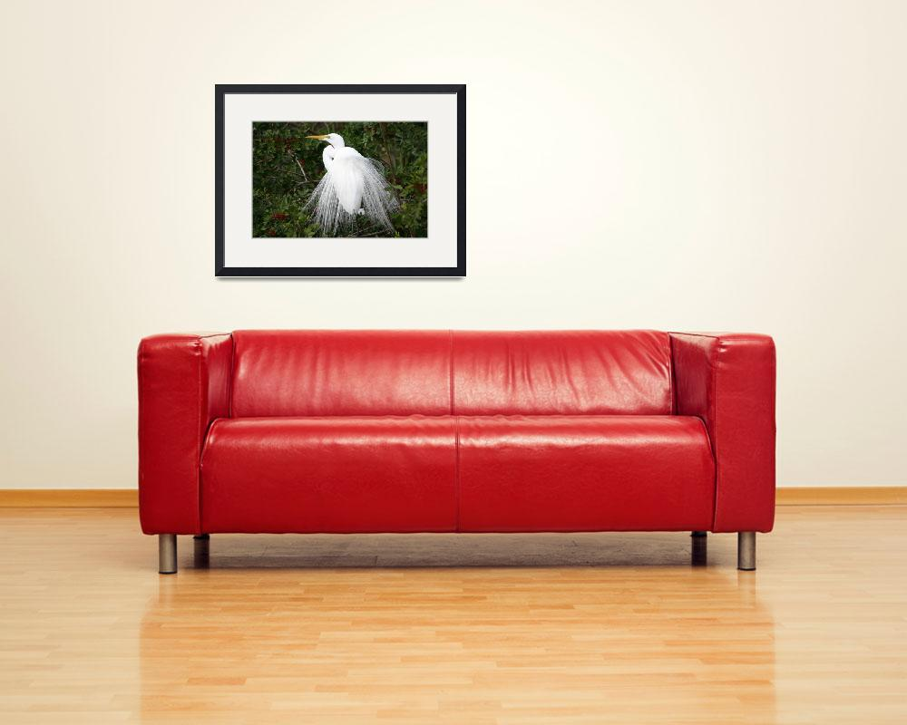 """""""White heron in mating plumage&quot  by flwildlifecollection"""