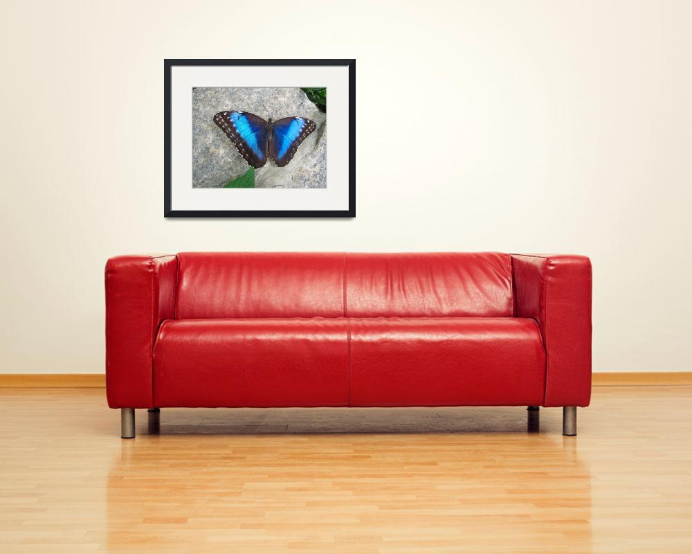 """Blue Morpho&quot  (2011) by WildAboutNaturePhotography"