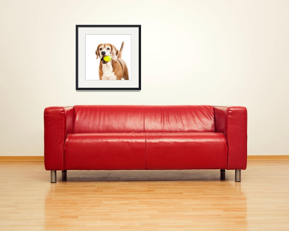 """Beagle with tennis ball portrait isolated on white&quot  by CreativePhotoTeam"