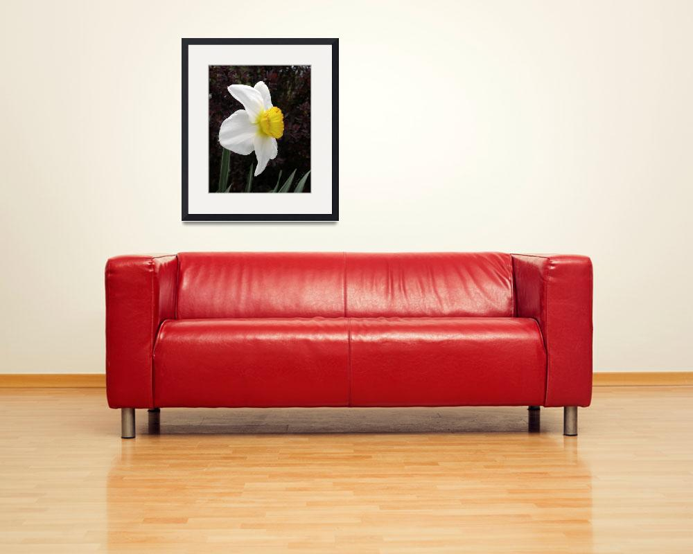 """""""Daffodil Flower Record Photograph&quot  (2007) by DogsandFlowers"""