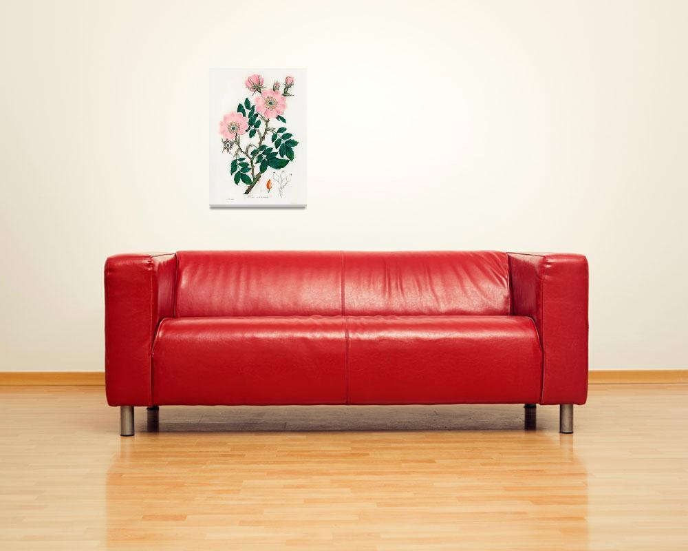 """Vintage Botanical Dog Rose""  by FineArtClassics"