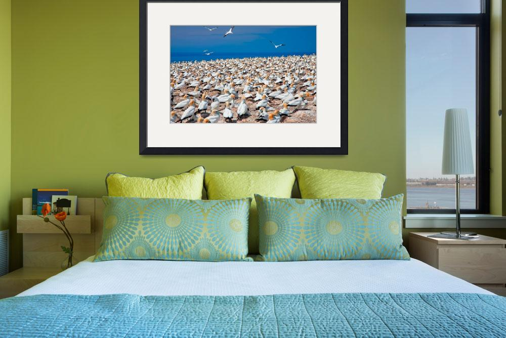 """Cape Kidnappers Plateau Gannet Colony&quot  (2011) by johncorney"