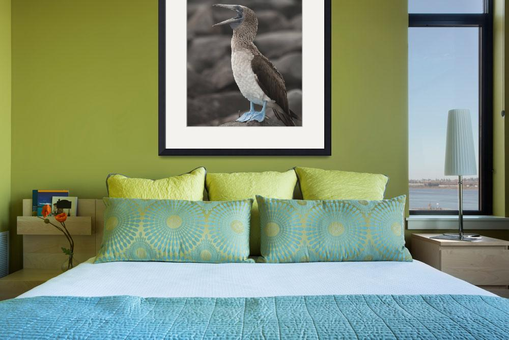 """Blue Footed Booby&quot  (2010) by SederquistPhotography"