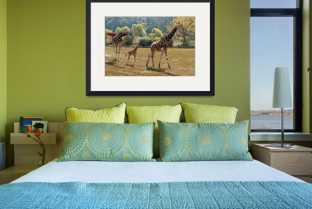 """""""Family of Giraffes&quot  (2013) by tracilawphotography"""