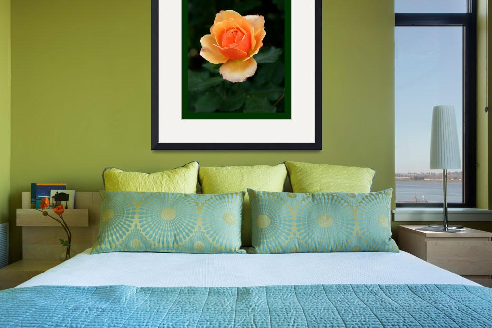 """""""Peach Rose with border&quot  (2013) by TheNorthernTerritory"""