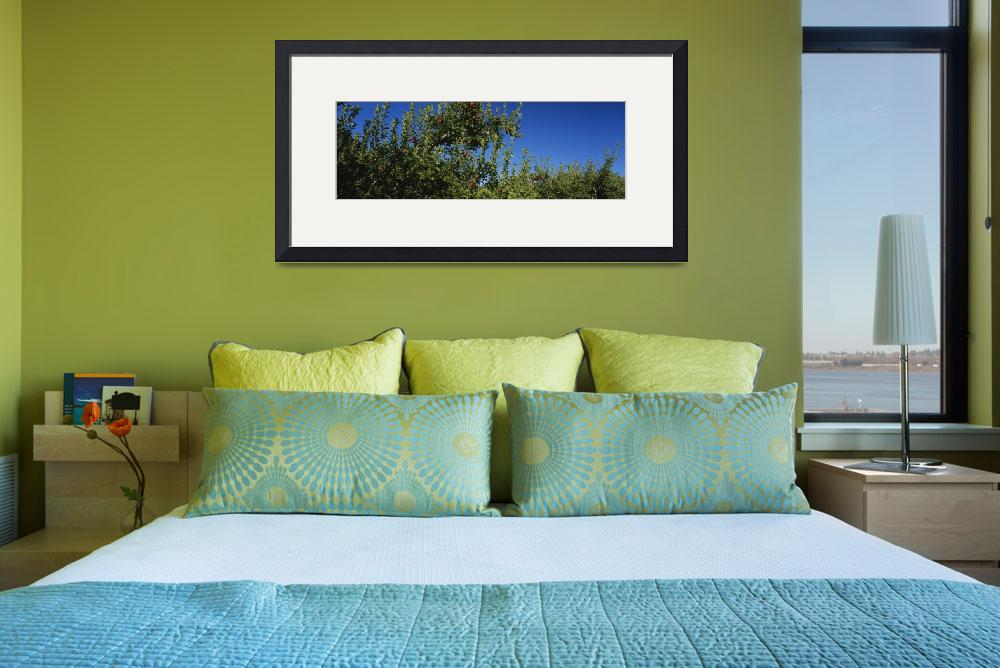 """""""Low angle view of apple trees in an orchard""""  by Panoramic_Images"""
