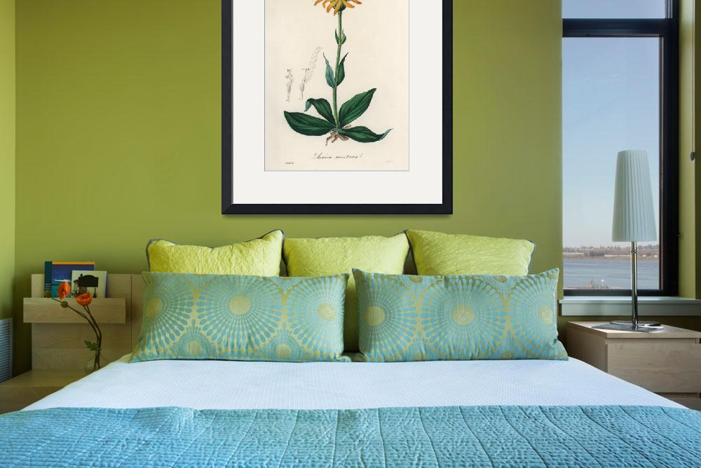 """Vintage Botanical Mountain arnica&quot  by FineArtClassics"