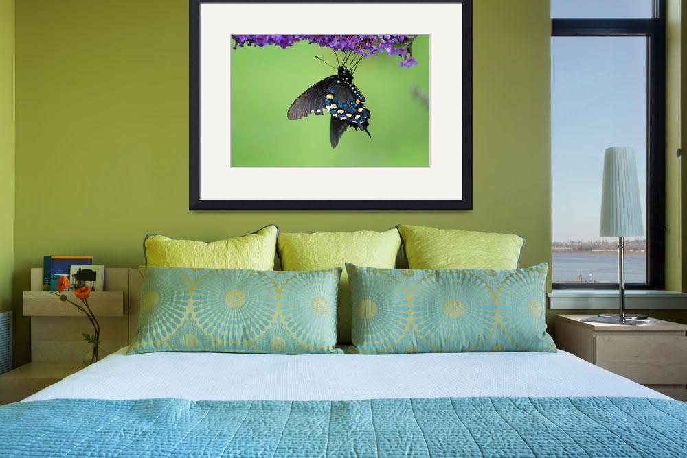 """Butterfly  Pipevine Swallowtail""  (2012) by KsWorldArt"