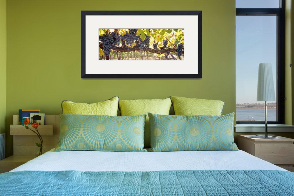 """Close up of grapes in a vineyard Napa Napa County&quot  by Panoramic_Images"