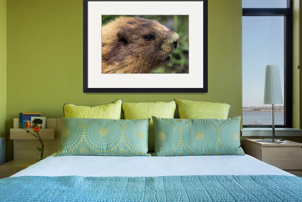 """""""Olympic Marmot (Marmota Olympus)&quot  by Panoramic_Images"""