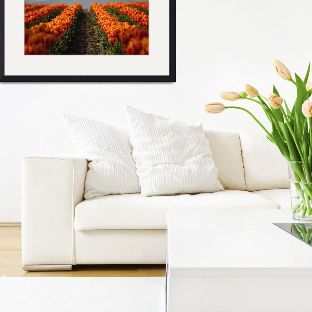 """Skagit County Tulips of Washington State: Orange C&quot  by studio_narvaez"