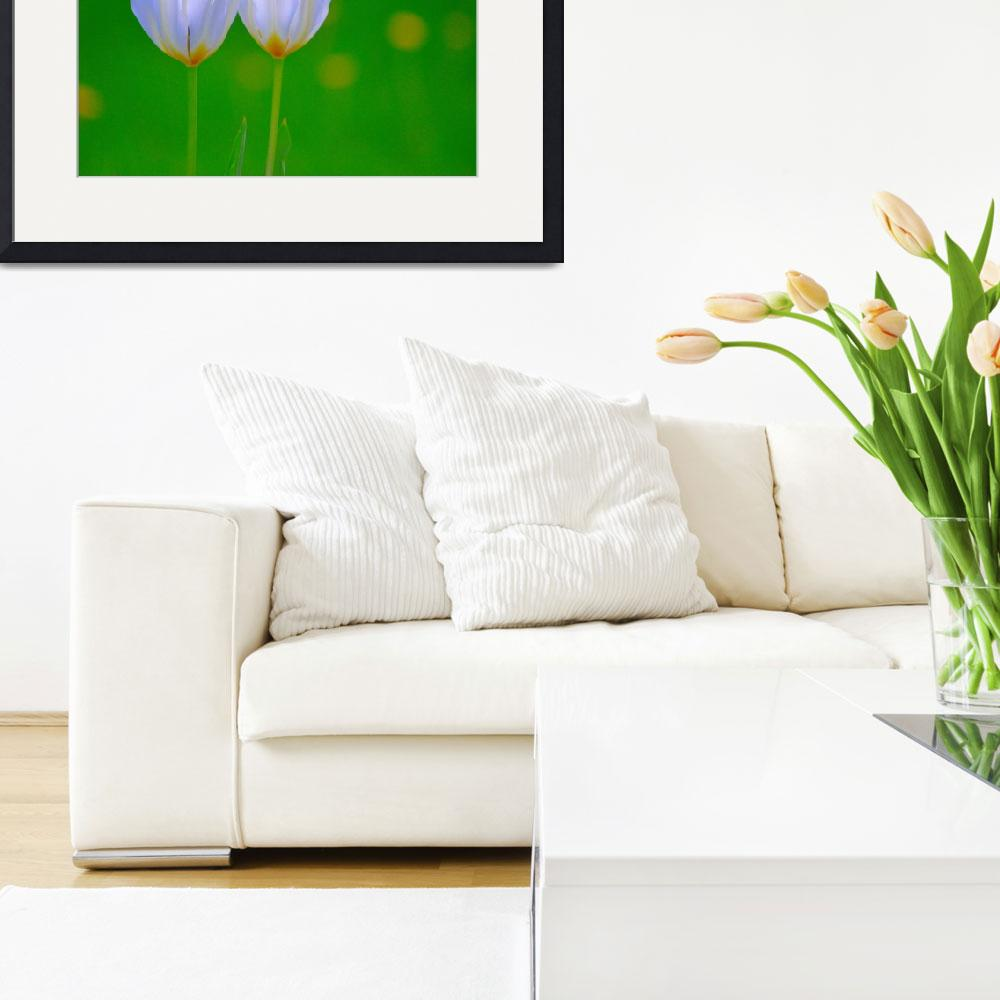 """Twin White Tulips&quot  (2014) by joanhan"