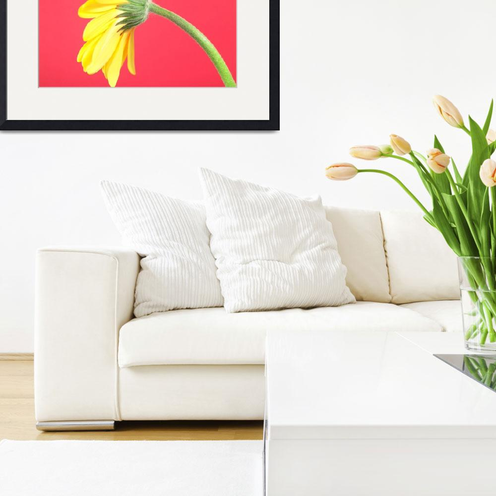 """""""Yellow Gerbera Daisy Solitary&quot  (2006) by Infomages"""