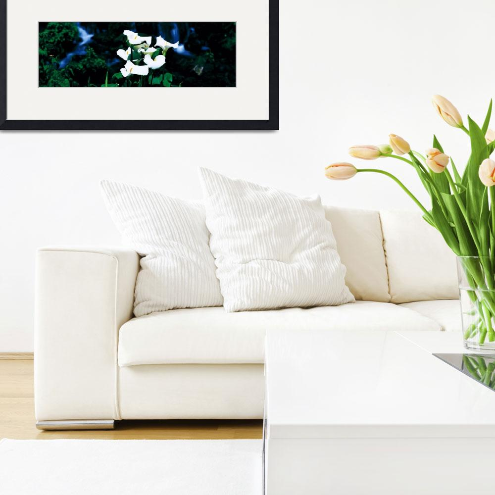 """Calla Lilies&quot  by Panoramic_Images"