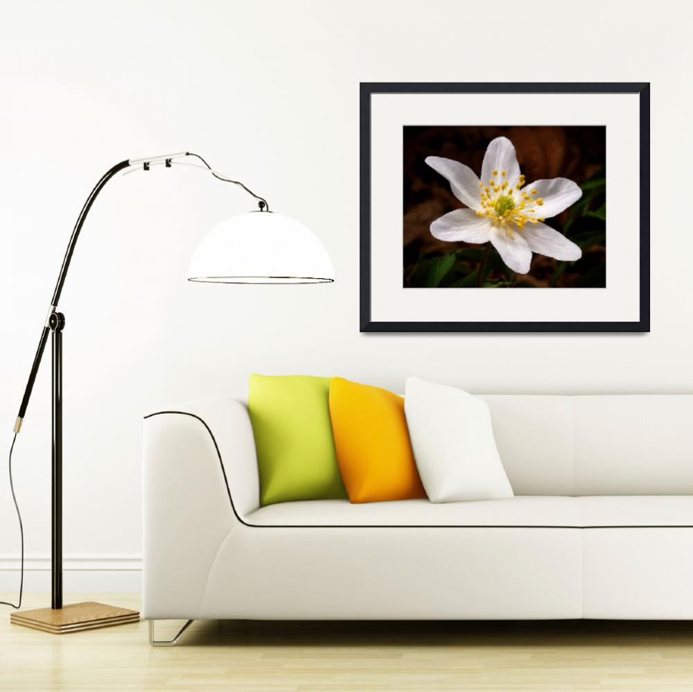 """""""Wood Anemone&quot  (2010) by roger"""