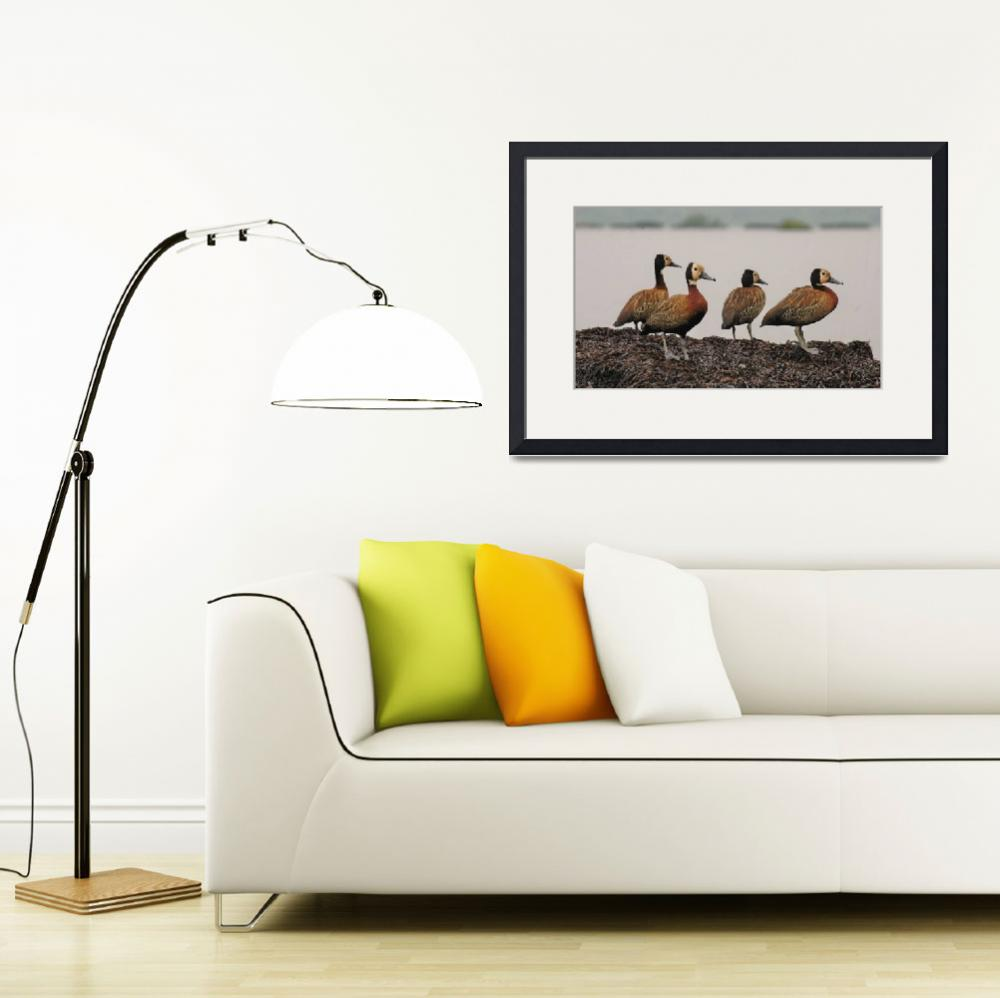 """""""Colony of white-faced whistling ducks, Burundi.&quot  by global_nomad1"""