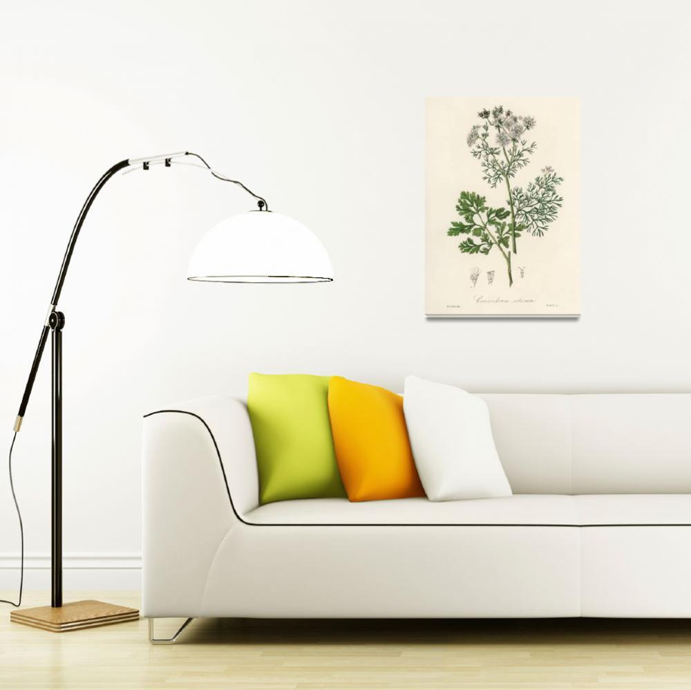"""Vintage Botanical Coriander""  by FineArtClassics"