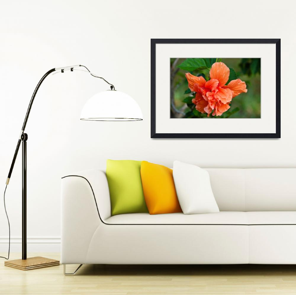 """Orange Double Blossoming Hibiscus""  (2011) by julieandel"