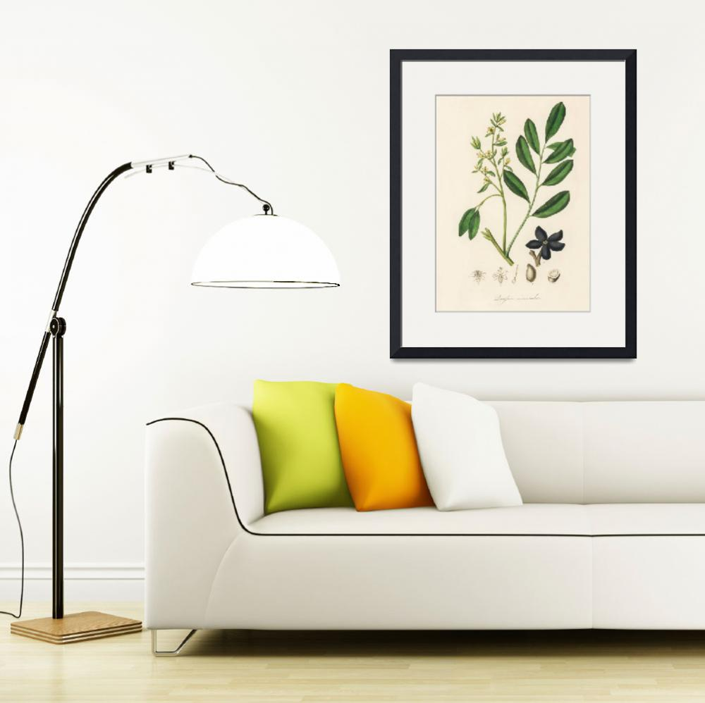 """Vintage Botanical Lualsia simarula""  by FineArtClassics"