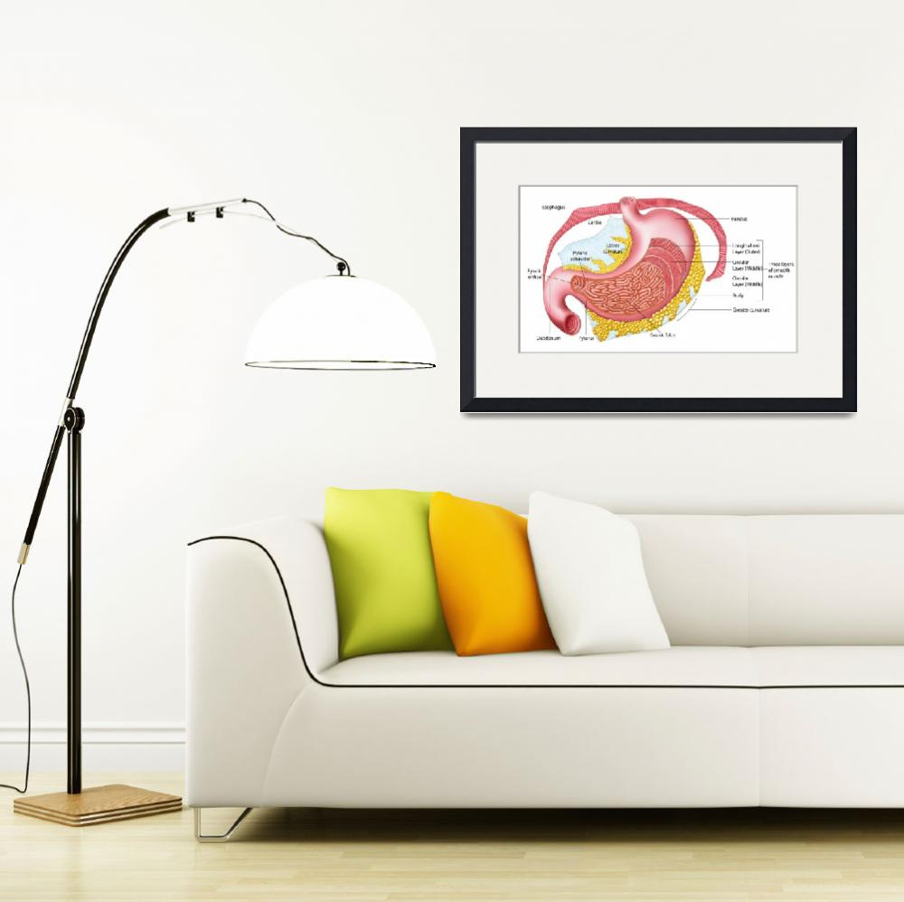"""""""Anatomy of the human stomach""""  by stocktrekimages"""