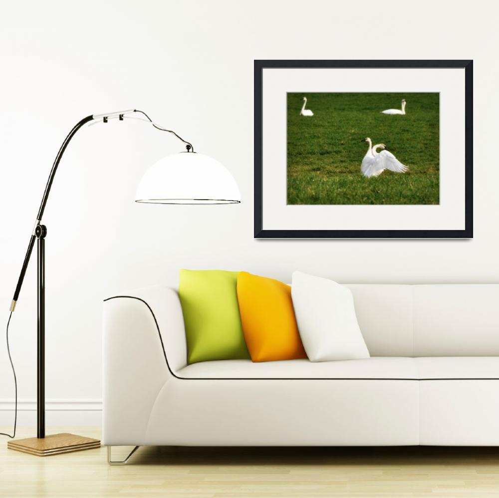 """""""Beautiful Swans&quot  (2012) by CaptureLife"""