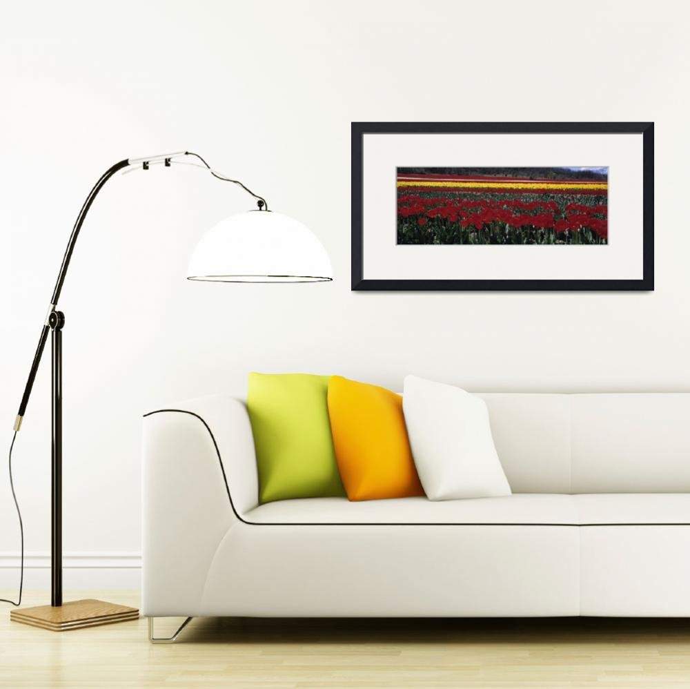 """""""Tulips growing in a field&quot  by Panoramic_Images"""