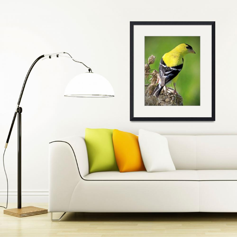 """American Goldfinch&quot  (2010) by ROBERTSCOTTPHOTOGRAPHYY"