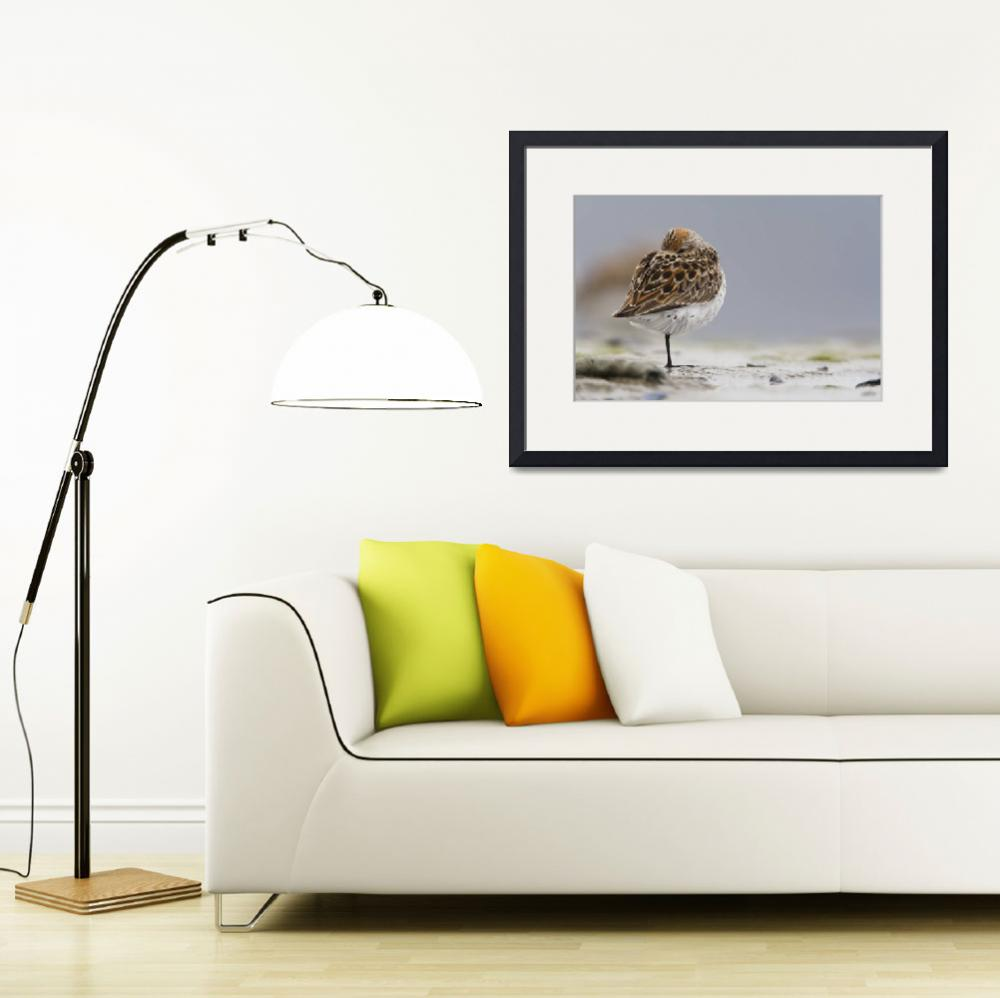 """""""Western Sandpiper Roosting On Mud Flats Of Hartney&quot  by DesignPics"""