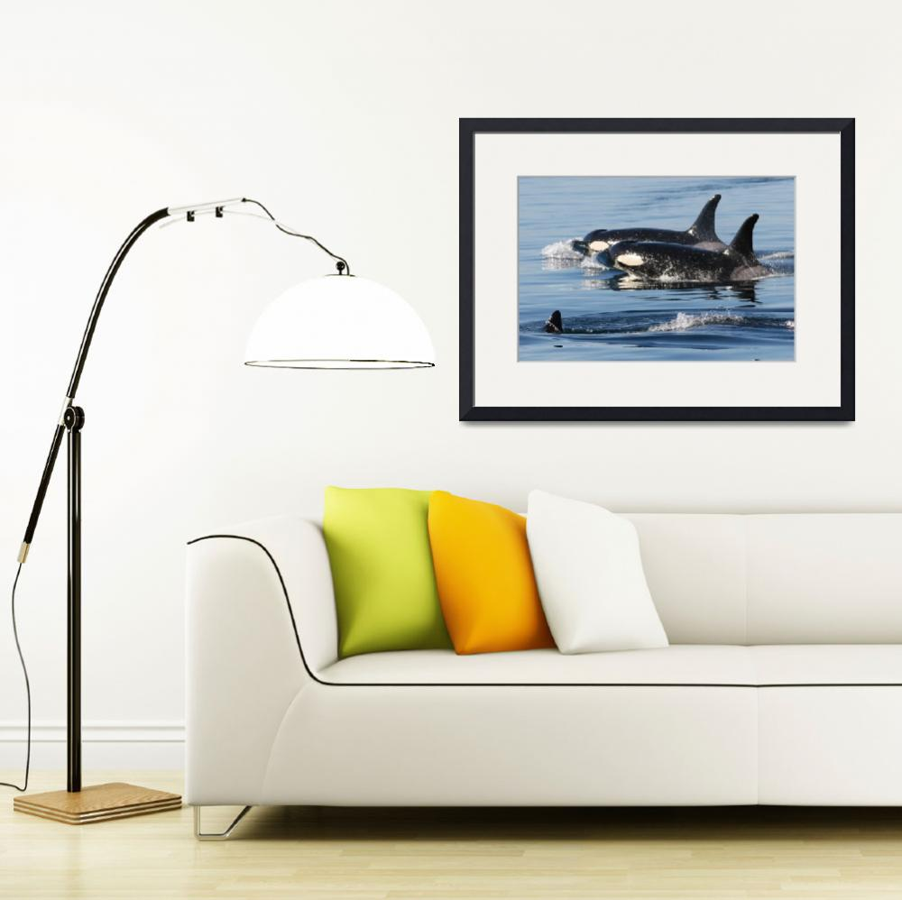 """Killer Whales Orca Whales J pod&quot  (2007) by sandybuckley"