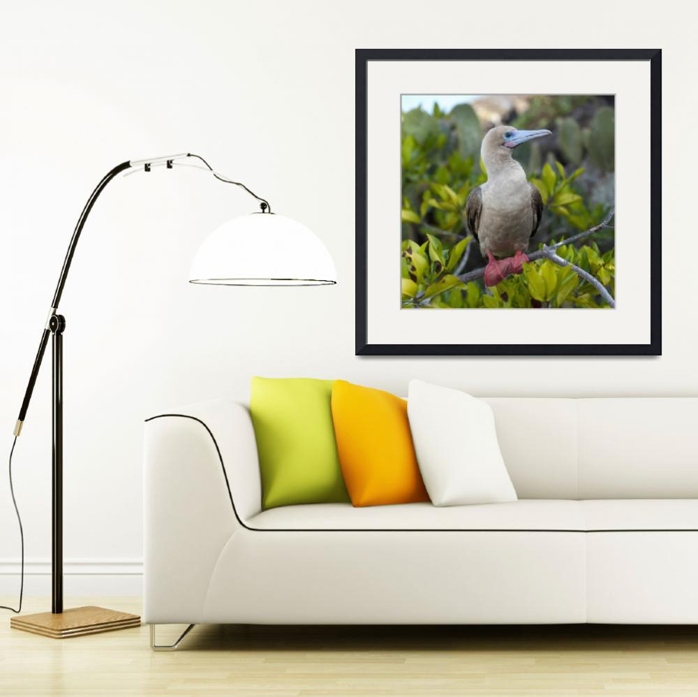 """""""A Red-Footed Booby Galapagos, Equador&quot  by DesignPics"""