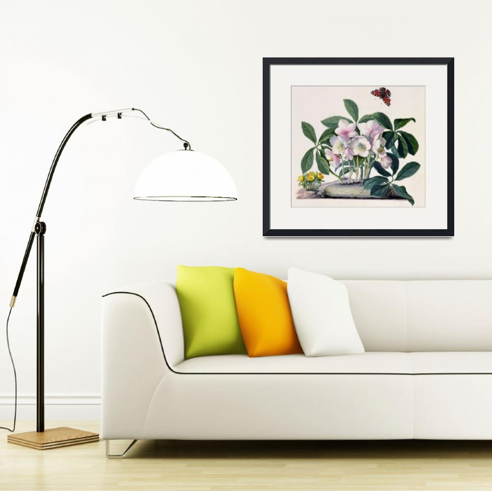 """Christmas Rose (Helleborus niger) and Winter Aconi&quot  by fineartmasters"