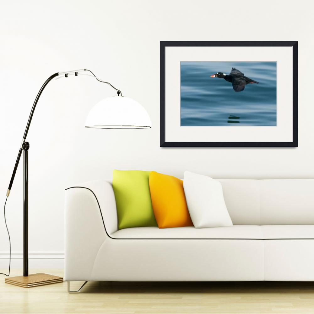 """""""Male Surf Scoter Flying&quot  (2014) by NatureAsArt"""