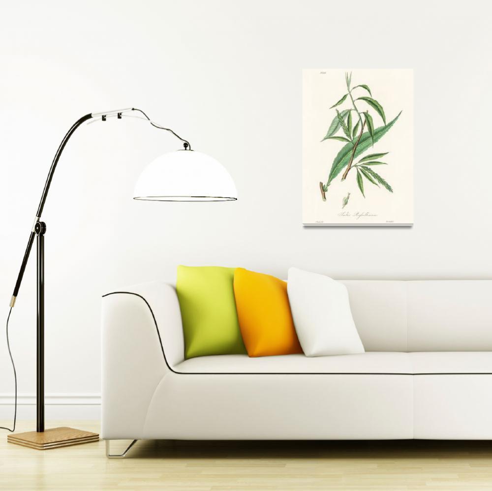 """Vintage Botanical Salix rufselliana""  by FineArtClassics"