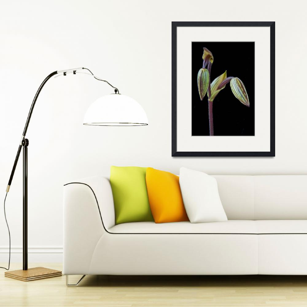 """Paphiopedilum Saint Swithin&quot  (2009) by ImageArt-Photography"