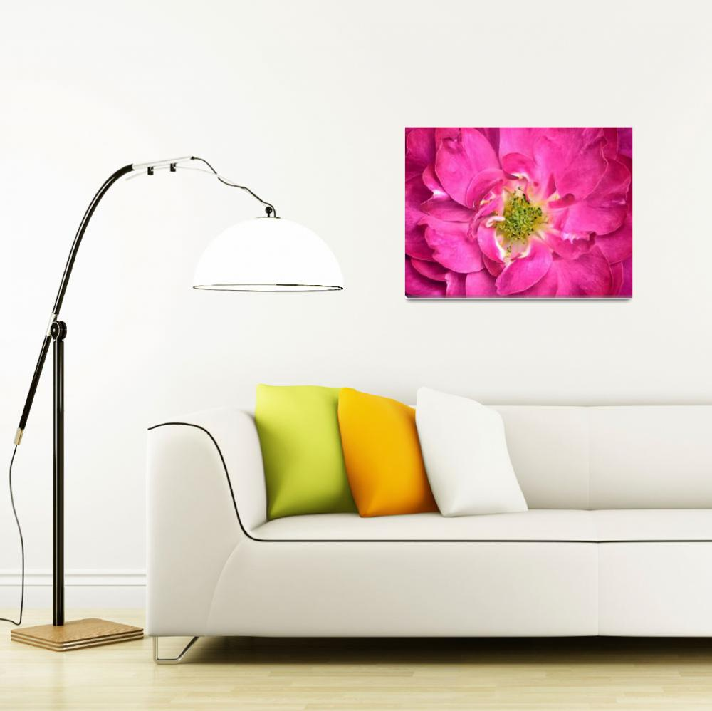 """Fuschia Rose Petals & Stamens ~ Flower Close-up&quot  by Chantal"