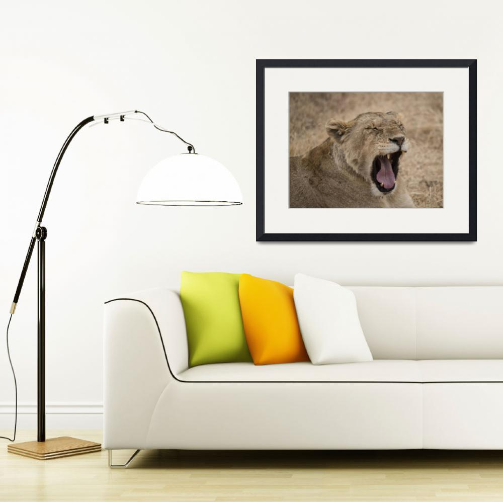"""""""Yawning Lioness, Ngorogo&quot  (2012) by SederquistPhotography"""