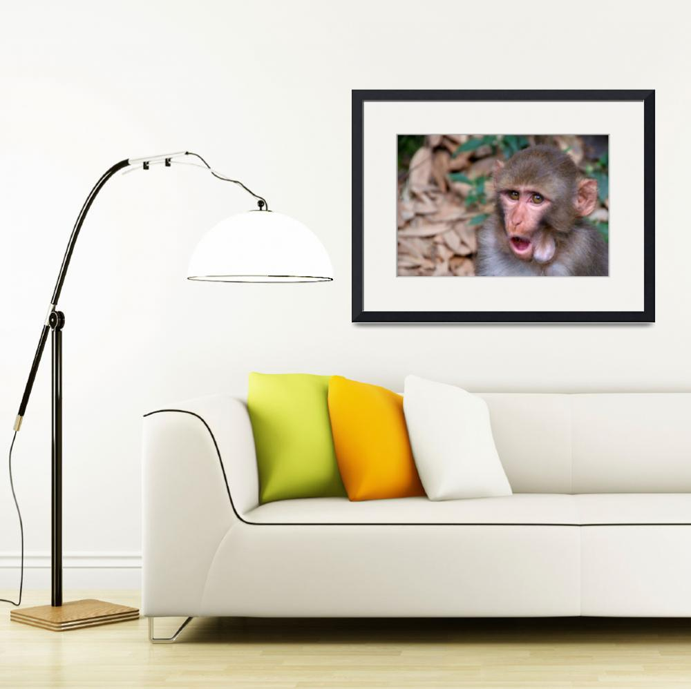 """Young Rhesus Macaque with Food in Cheeks&quot  by Serena"