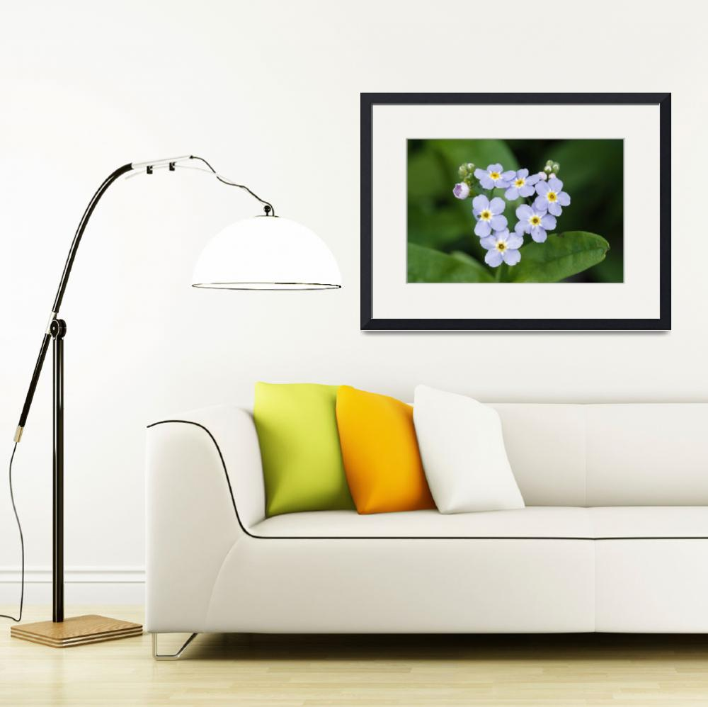 """Forget-me-not flowers (Myosotis scorpioides) bloo&quot  by Panoramic_Images"