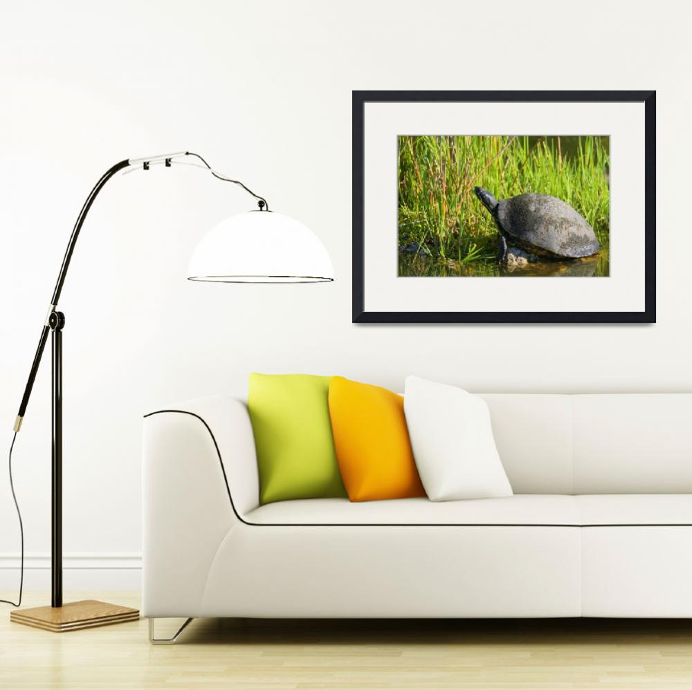 """""""Florida Red-bellied Turtle&quot  (2006) by DenisW"""