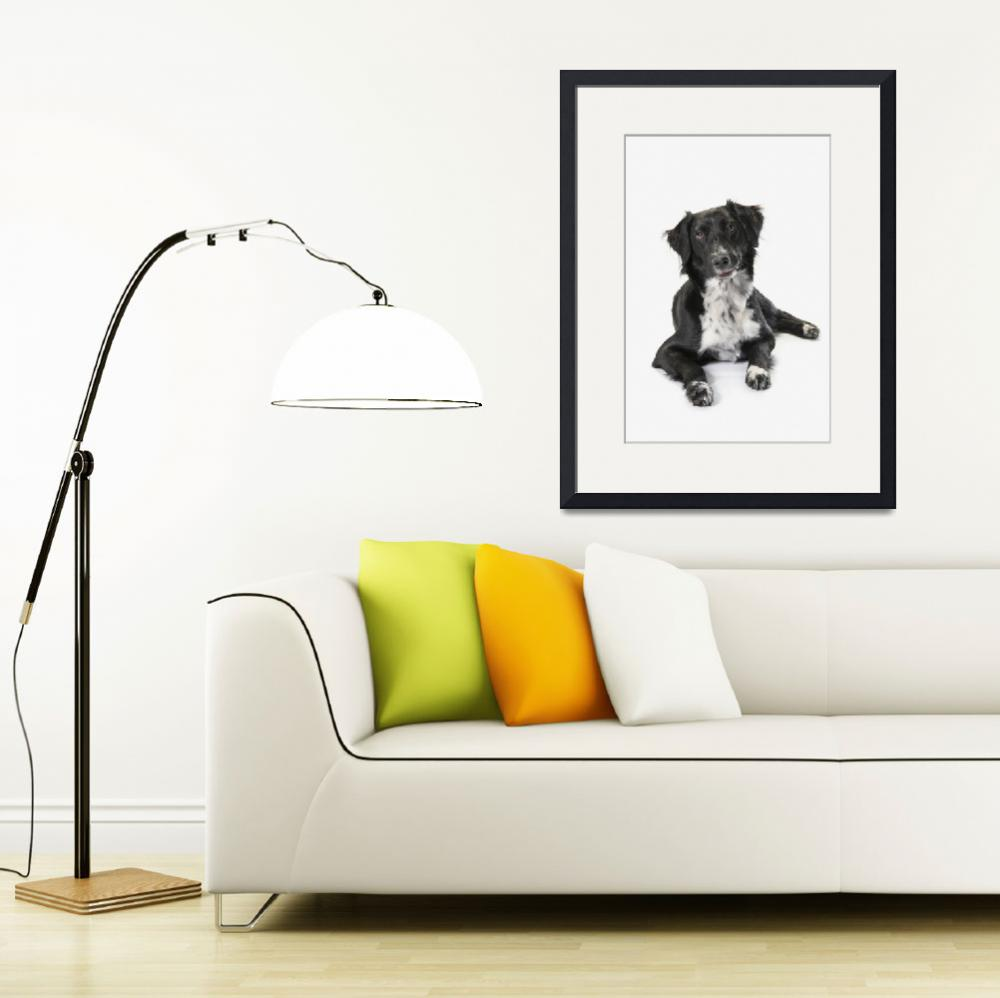 """""""Border Collie On A White Background""""  by DesignPics"""
