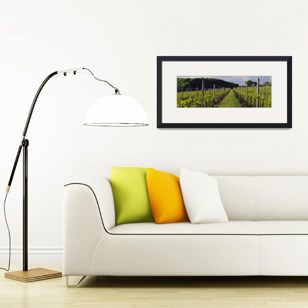 """""""Chardonnay grapes in a vineyard&quot  by Panoramic_Images"""
