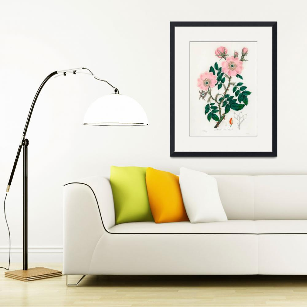 """Vintage Botanical Dog rose&quot  by FineArtClassics"