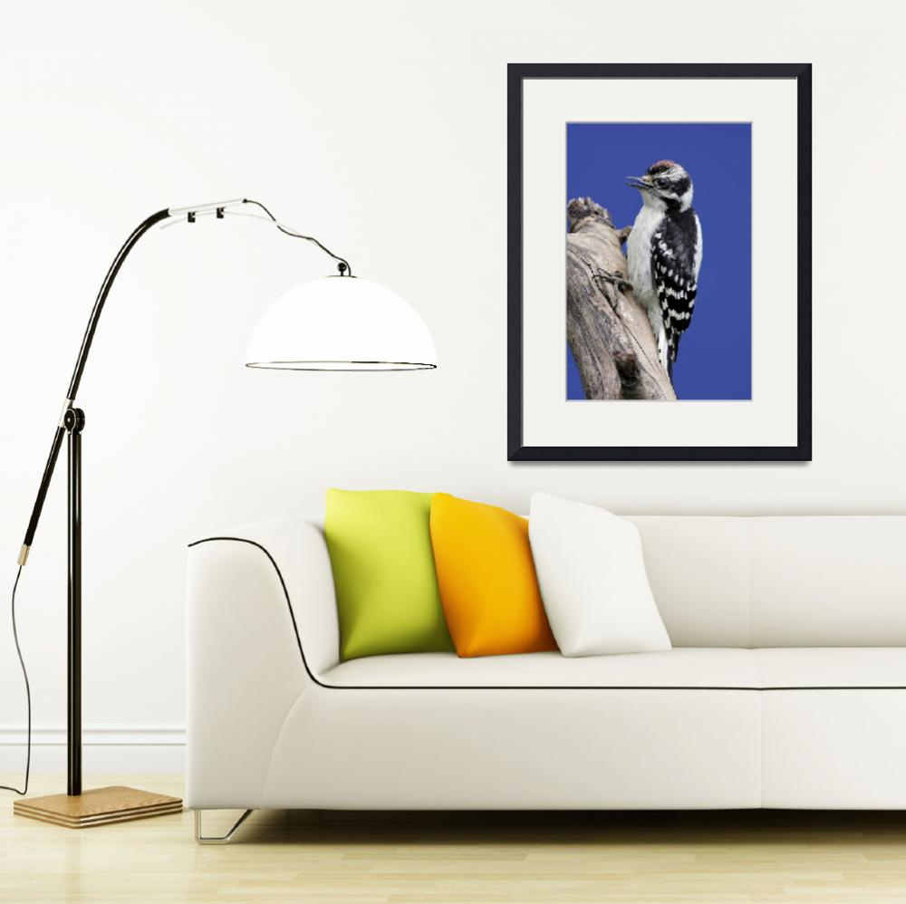 """""""Downy Woodpecker Photograph&quot  by ArtLoversOnline"""