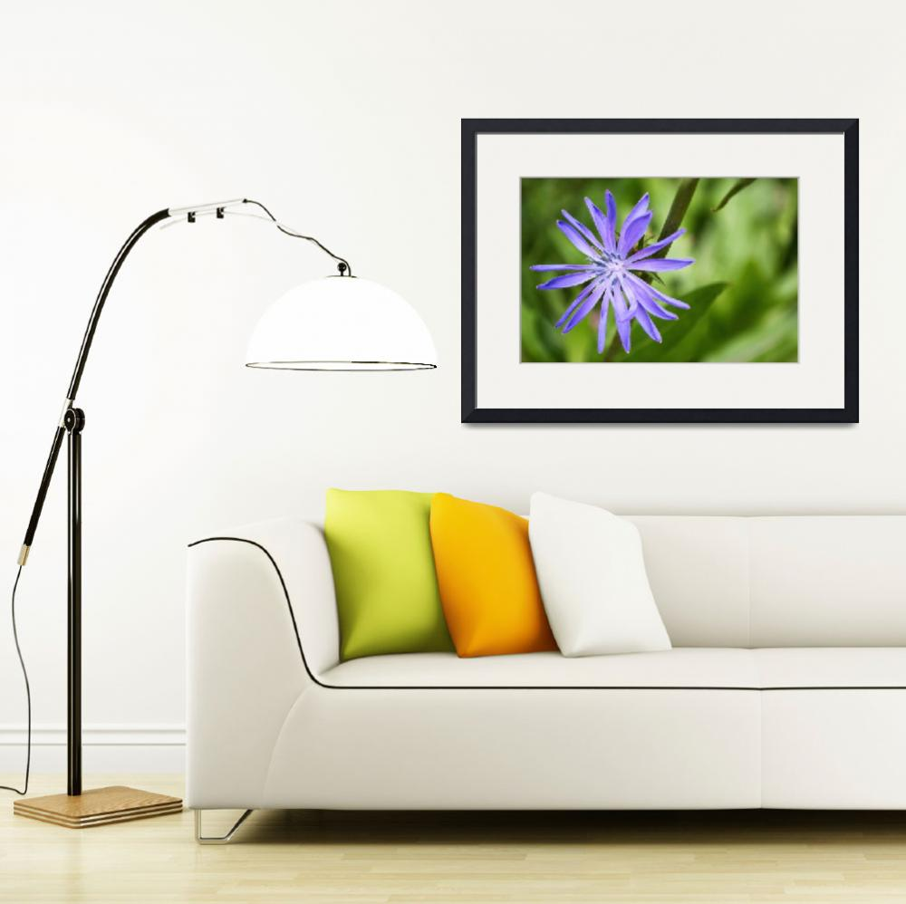"""""""Single Purple Chicory Flower&quot  (2014) by MissDawn"""