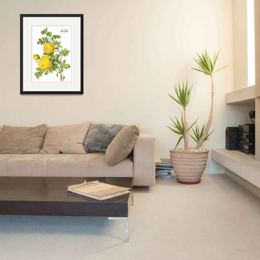 """Yellow Rose (Rosa Sulfurea) Botanical Art&quot  by ArtLoversOnline"